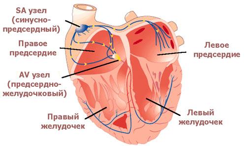 Как бьется сердце