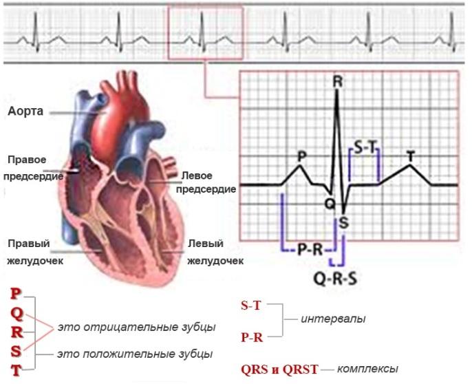 Кардиограмма сердца - общие сведения1