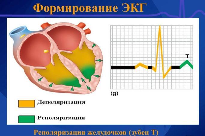 Механизм формирования ЭКГ