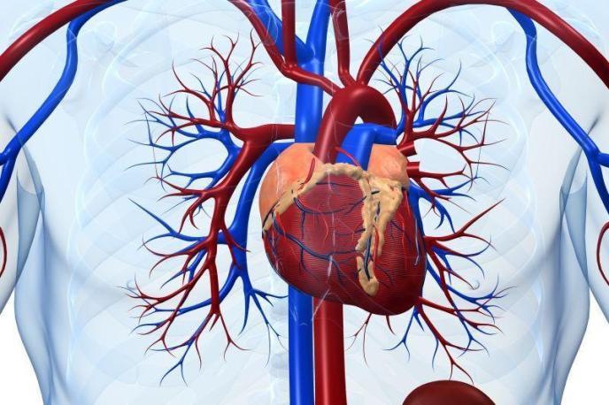Сердце и сердечно-сосудистая система человека