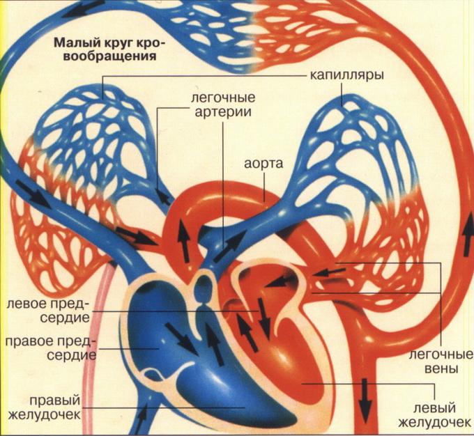 Физиологические основы кровообращения