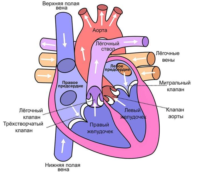 Физиология сердечного ритма